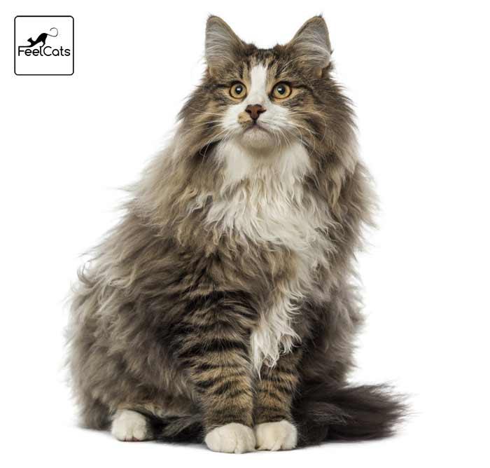 bosque-noruega-gato-raza