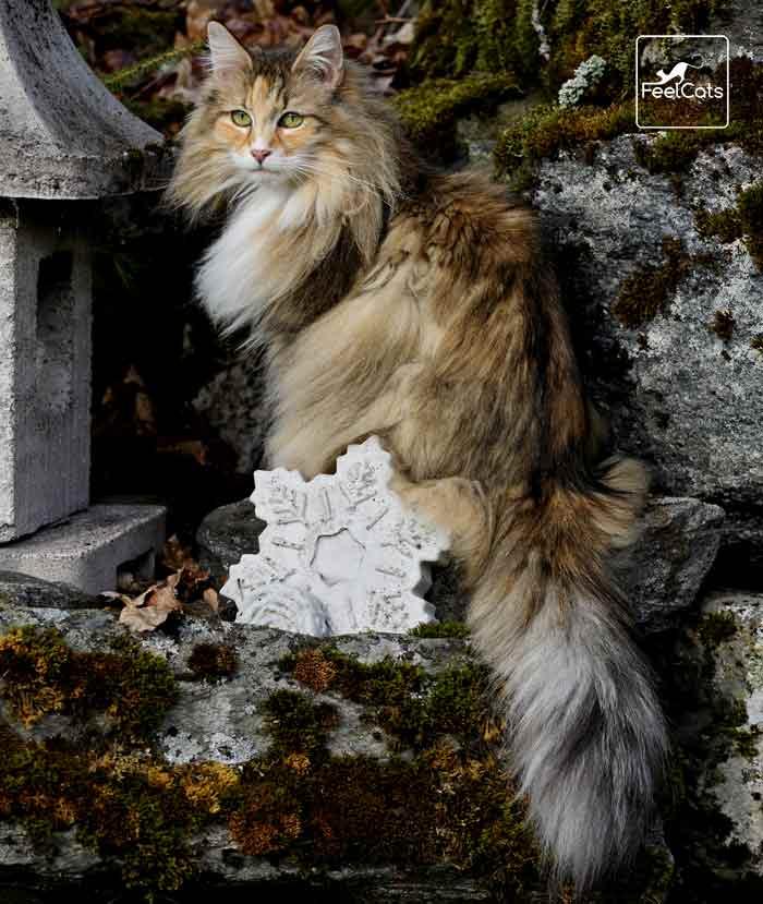 Bosque De Noruega Carácter Tamaño Origen Curiosidades Feelcats