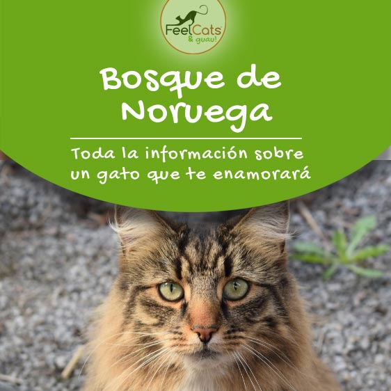bosque-de-noruega-gato
