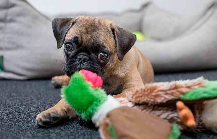 Cachorro jugando con un juguete