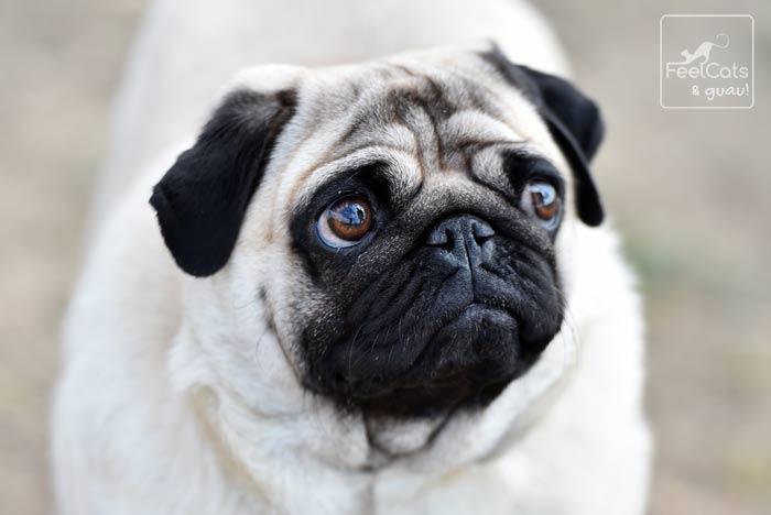 Pug de color beige