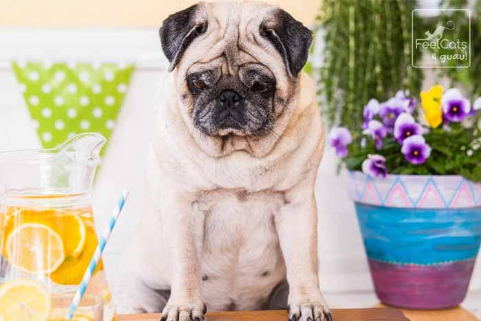 Hembra de Pug, con sobrepeso