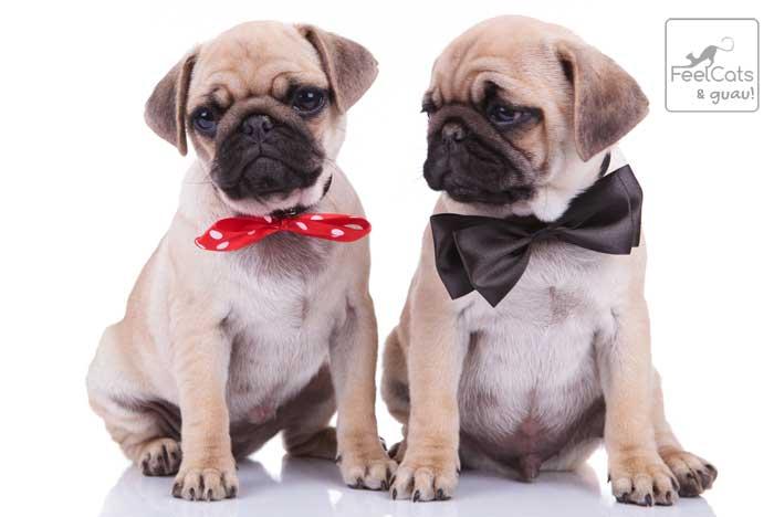 Dos cachorros bebes de Carlino