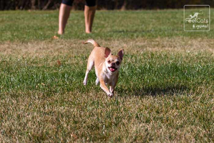 Chichuahua corriendo por el campo