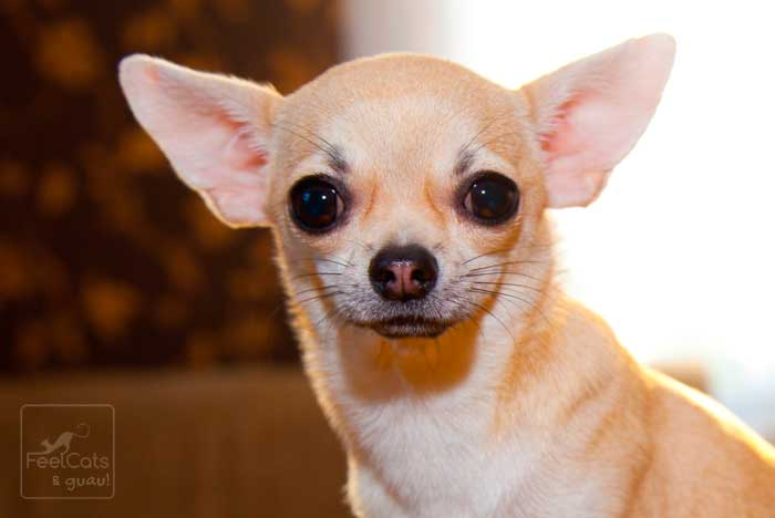 Chihuahua de color crema y ojos saltones