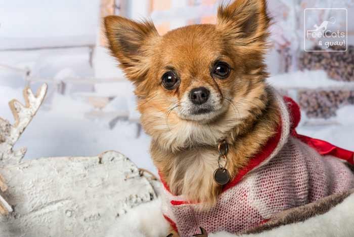Chihuahua de pelo largo, con un abrigo