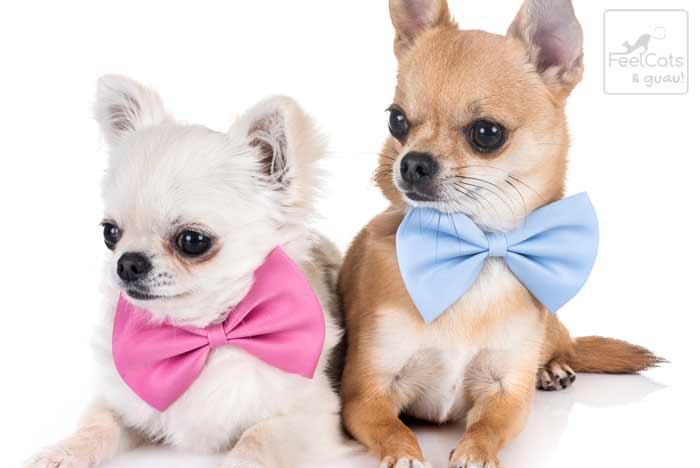 Chihuahua blanco y marrón, de pelo corto, con un lazo