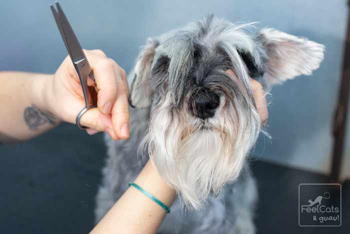 perro de pelo largo, en una pleuquería canina