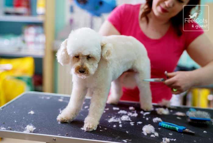 corte de pelo a un caniche, por una peluquera canina