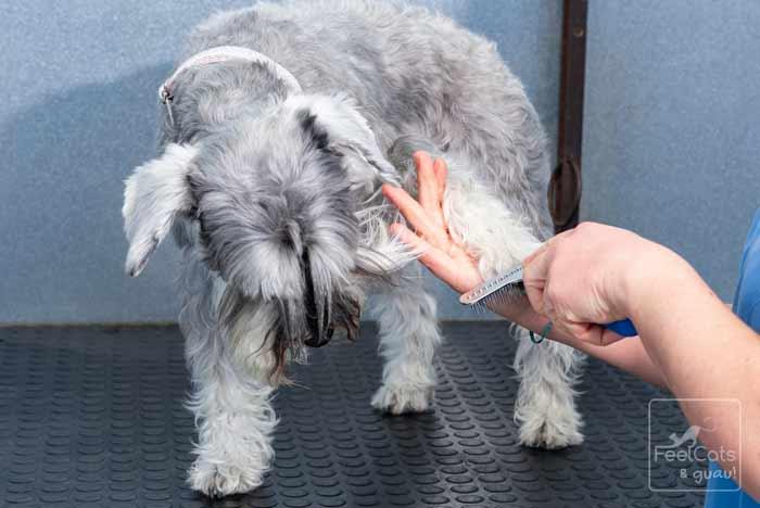 cepillado de un perro, en peluquería canina