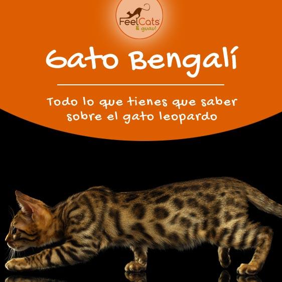 gato-bengali-bengala