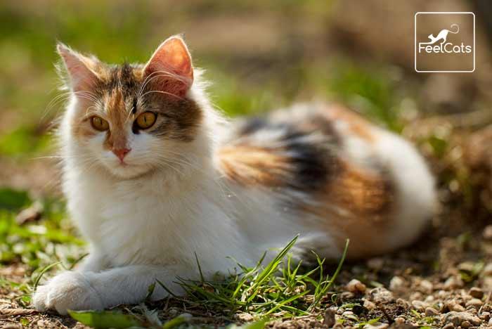 noruego-del-bosque-gato