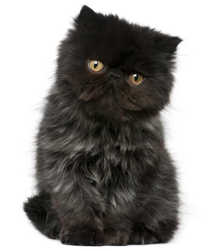 gato-exotico-negro