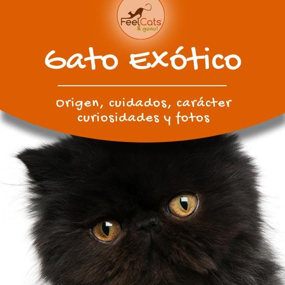 Gato exótico y toda la información sobre ellos