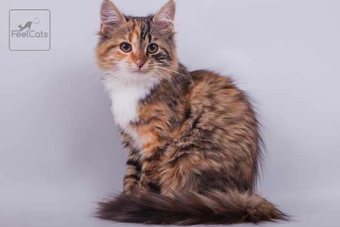 gatito-siberiano