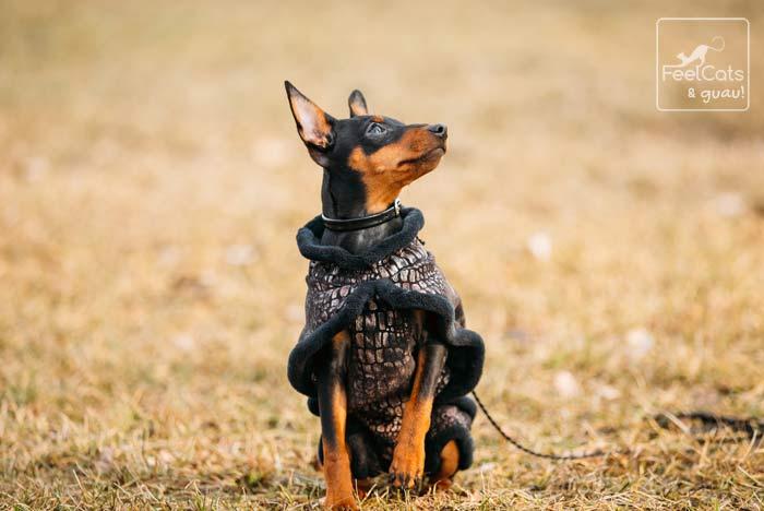 perro Pincher con abrigo