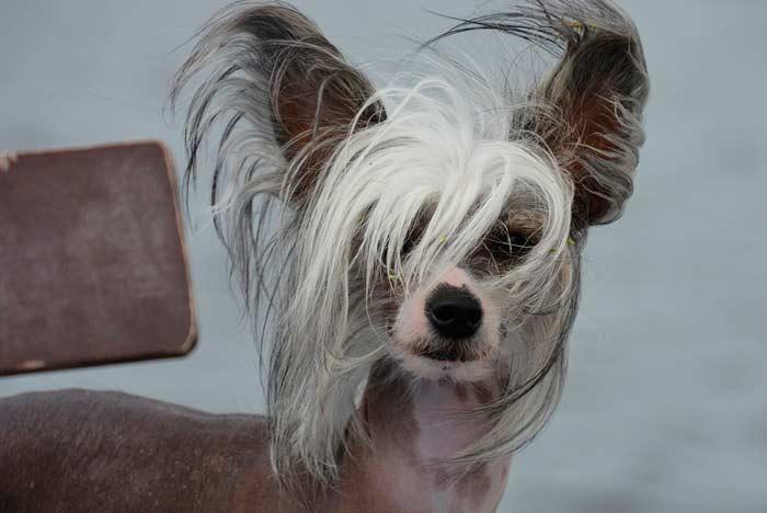 perro de orejas grandes y proclive a padecer otitis