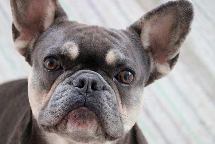 la raza bulldog puede padecer otitis