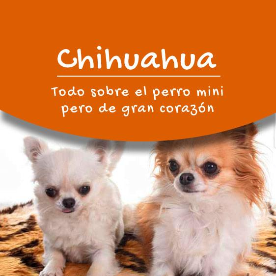 Chihuahua y todas la información sobre esta raza de perros