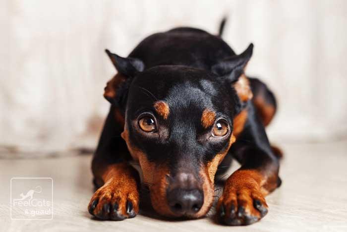 Perro de ojos marrones y color marrón y negro