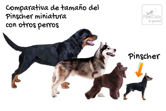 comparativa de tamaño del perro pinscher con otros perros