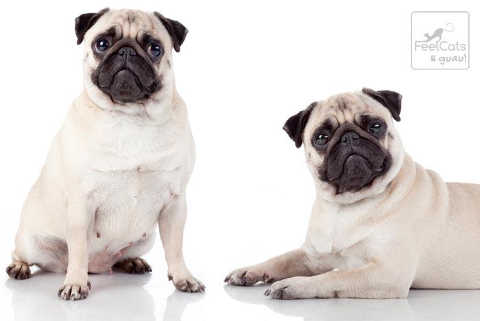Perros de la raza Pug