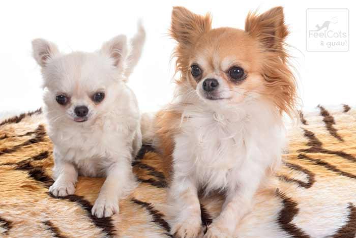 Dos chihuahuas de pelo largo