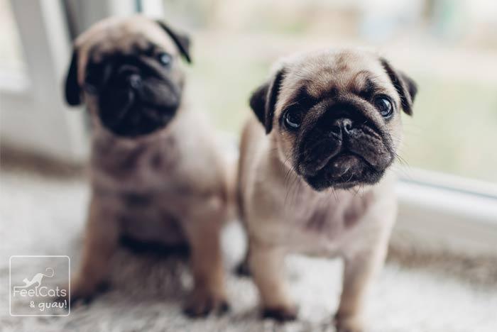 pareja de cachorros de Pug