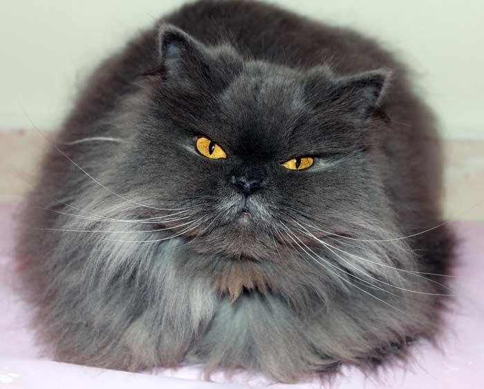 persa-gato