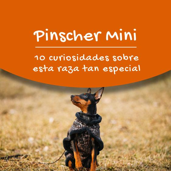 Toda la información del Pinscher Mini
