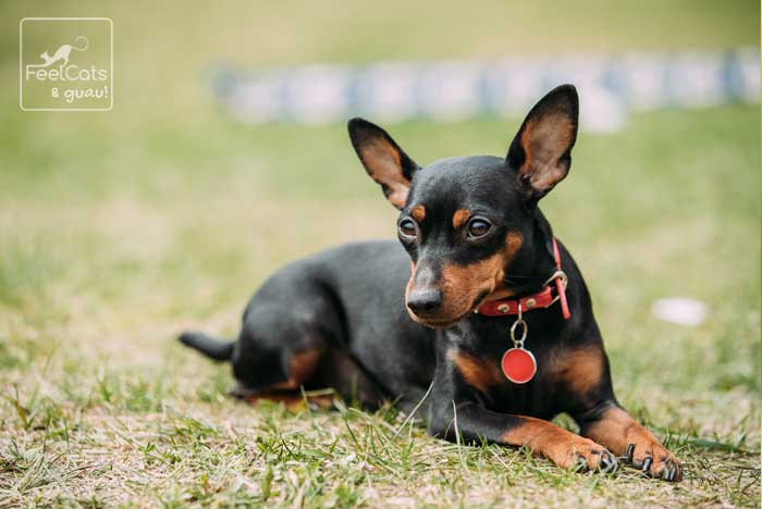 Pinscher mini con un collar rojo