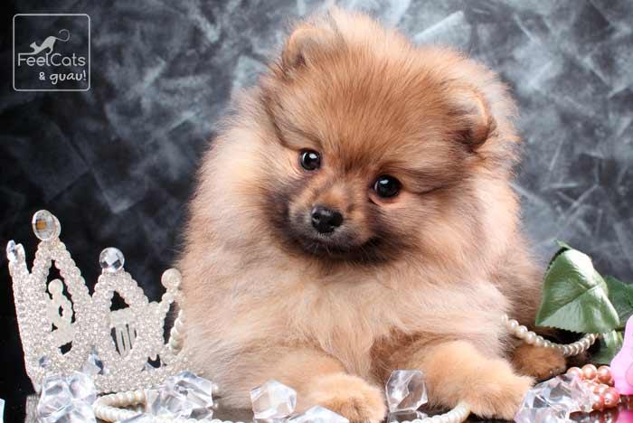perro pomerania joven de pelo largo