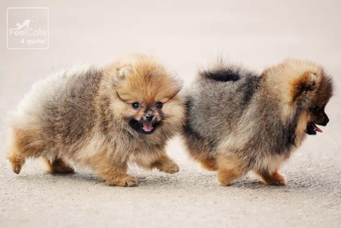 dos perros de la raza pomerania, cachorros