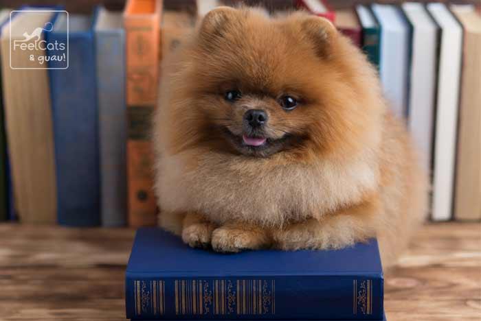 perro cachorro pomerania, encima de un libro
