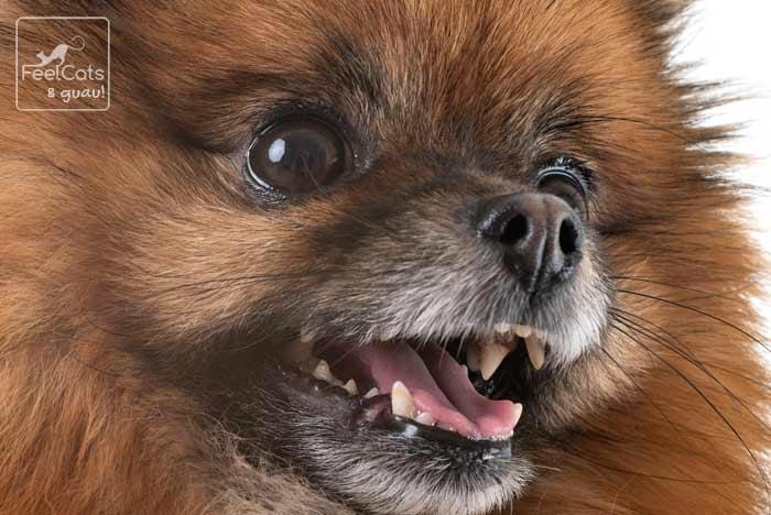 perro pomerania tiene un gran carácter
