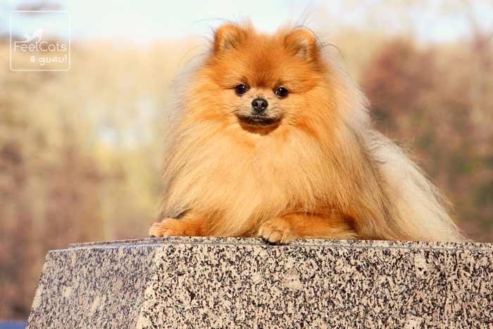 hembra de perro lulú de pomerania