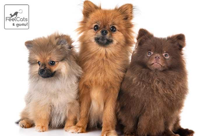 tres perros pomerania de color marrón