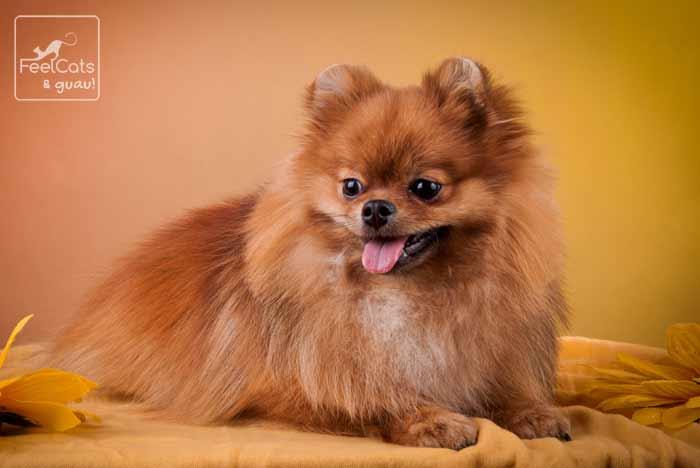 perro Spitz de color marrón, echado