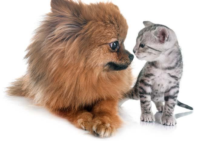 perro pomerania con gato atigrado