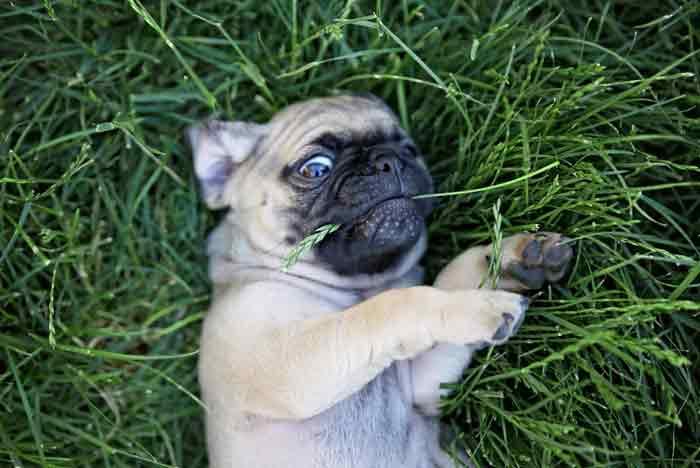 Carlino jugando en la hierba