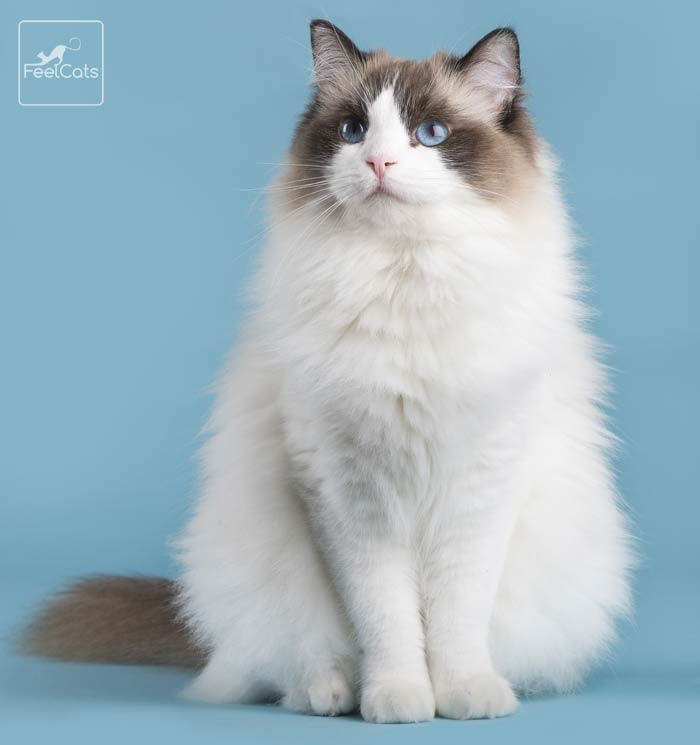 gato-ragdoll-raza