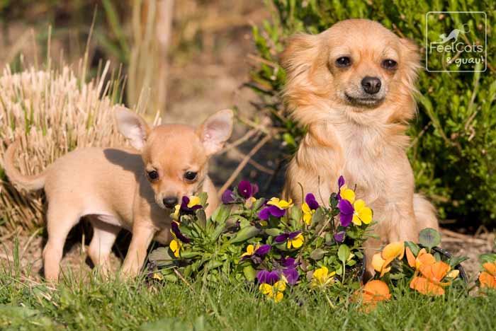 perra chihuahua con su cachorro, en el campo, entre las flores