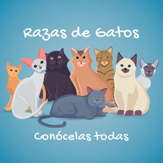 todas-razas-de-gatos