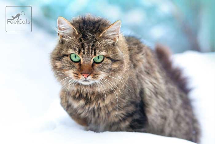 gato-siberiano-en-la-nieve