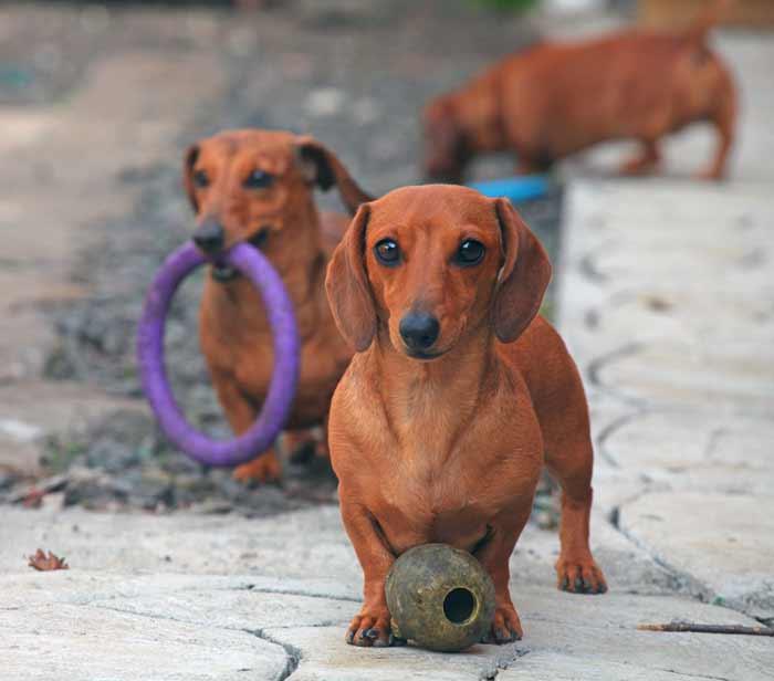 Teckel con ganas de jugar, con juguetes para perros
