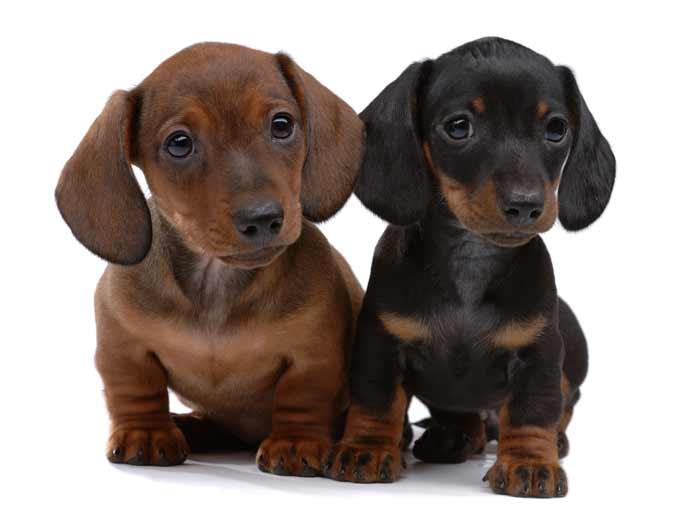 Dos cachorros de perro Teckel, de color negro y marrón, ambos de pelo fino