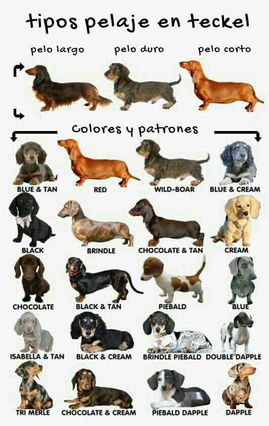 Clases y diferencias de las variantes de perro Teckel