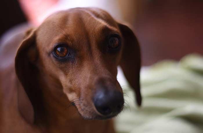 Mirada de perro salchicha, fiel y cariñoso