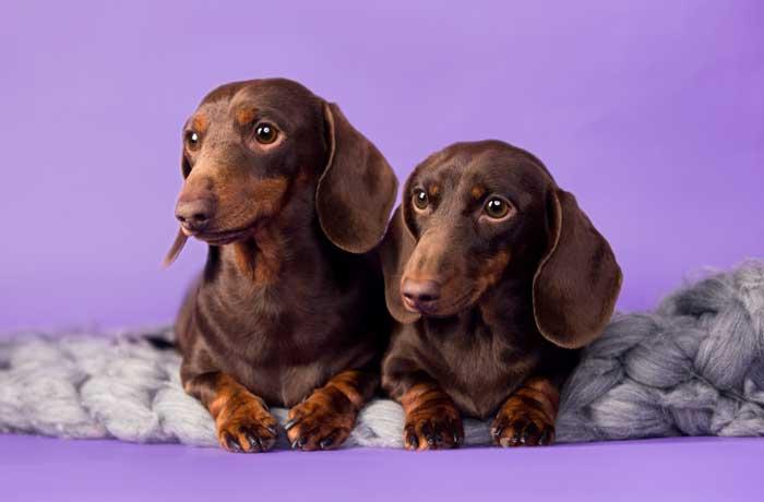 Dos perros teckel o salchicha, de color marrón y sentados