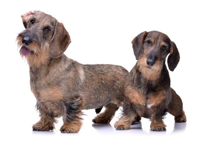 dos perros de la raza teckel, de pelo duro